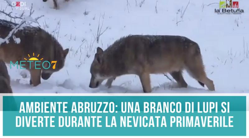 AMBIENTE Abruzzo un branco di Lupi si diverte durante la nevicata primaverile